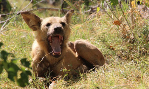 Africa wild dog sighted on safari with Tourism First